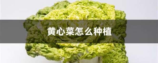 黄心菜怎么种植