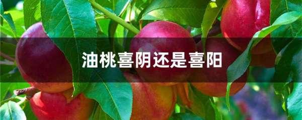 油桃喜阴还是喜阳