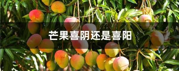 芒果喜阴还是喜阳