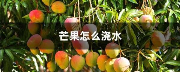 芒果怎么浇水