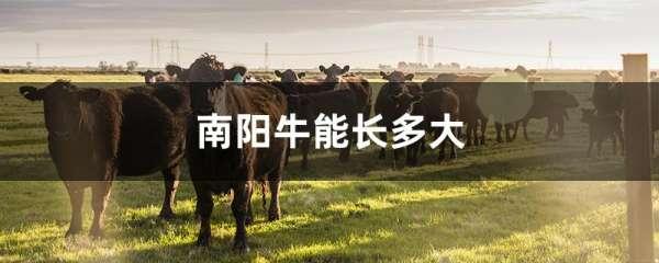 南阳牛能长多大