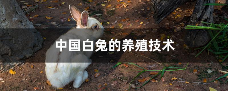 中国白兔的养殖技术