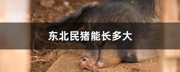 东北民猪能长多大