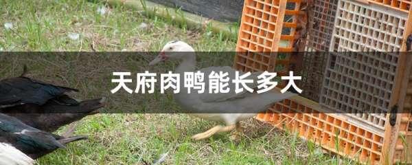 天府肉鸭能长多大