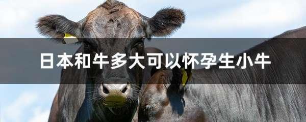 日本和牛多大可以怀孕生小牛