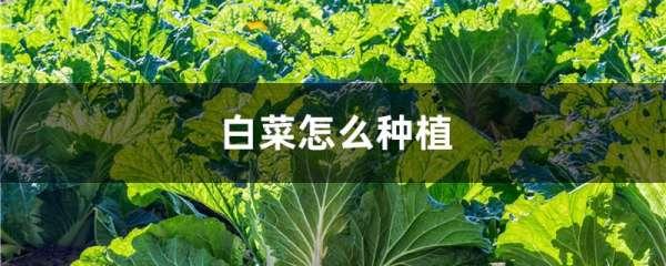 白菜怎么种植