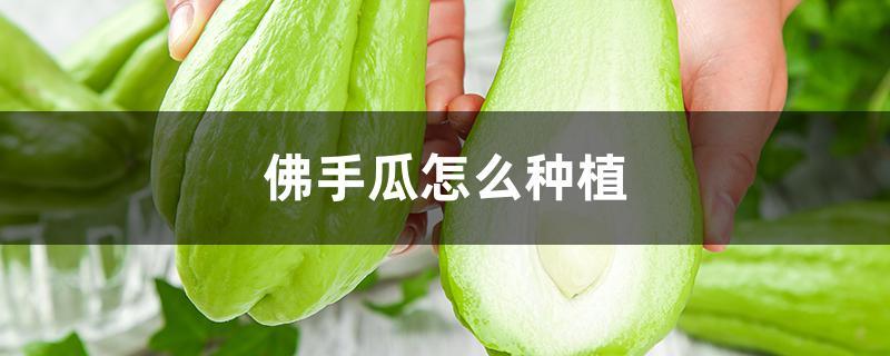佛手瓜怎么种植