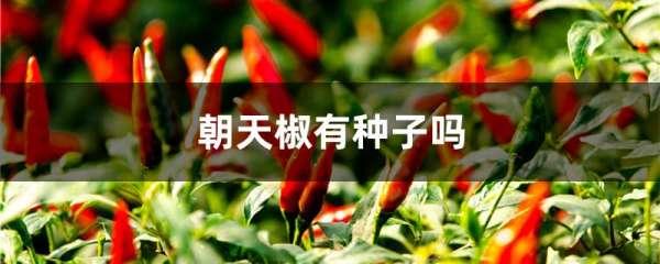 朝天椒有种子吗
