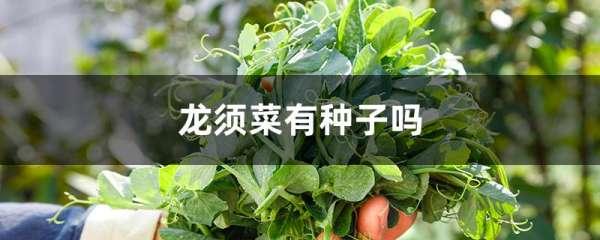龙须菜有种子吗