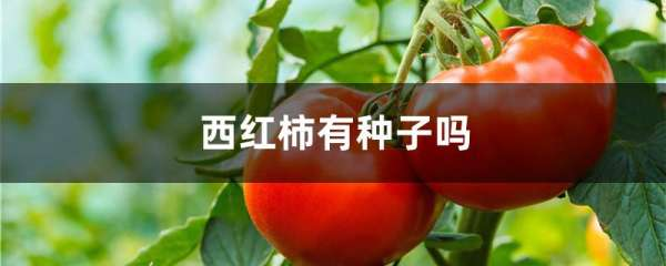 西红柿有种子吗