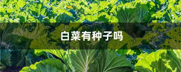 白菜有种子吗