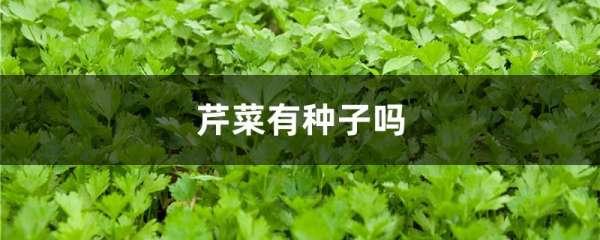 芹菜有种子吗