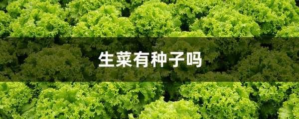 生菜有种子吗