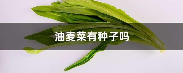 油麦菜有种子吗