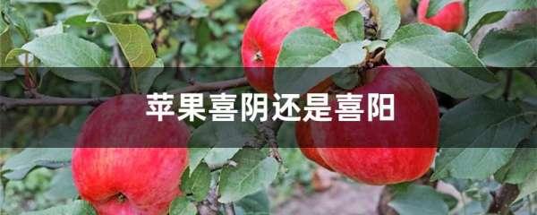 苹果喜阴还是喜阳