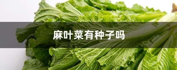 麻叶菜有种子吗
