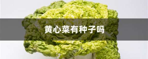 黄心菜有种子吗