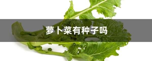 萝卜菜有种子吗