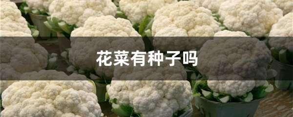 花菜有种子吗