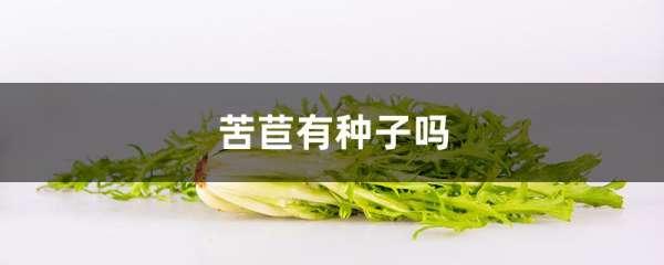 苦苣有种子吗