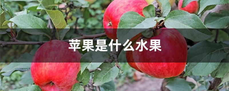 苹果是什么水果