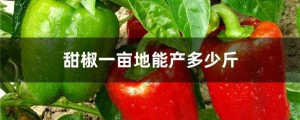 甜椒一亩地能产多少斤