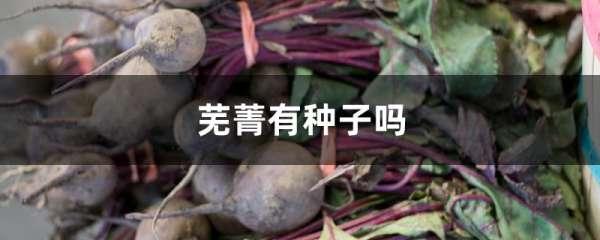 芜菁有种子吗