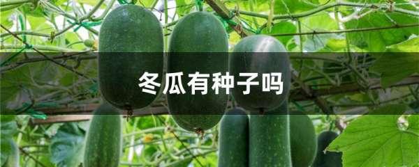 冬瓜有种子吗