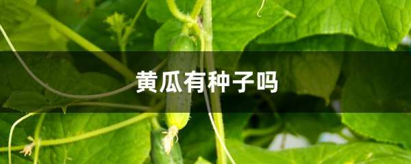 黄瓜有种子吗