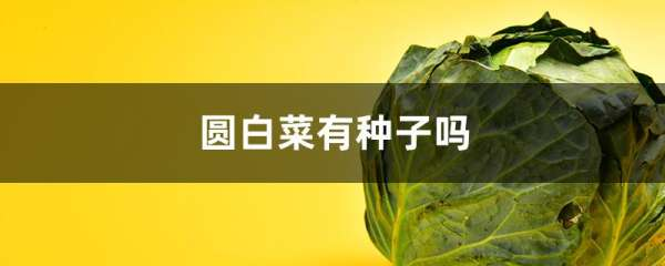 圆白菜有种子吗