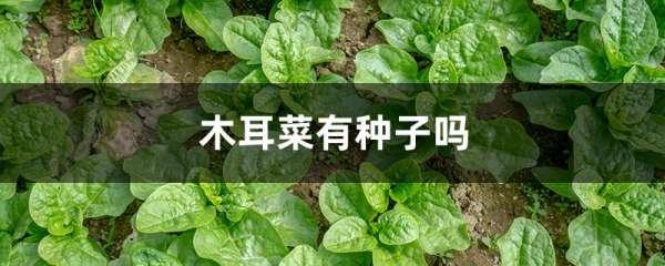 木耳菜有种子吗