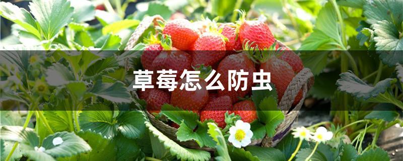 草莓怎么防虫