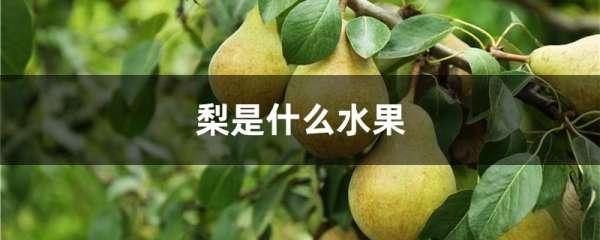 梨是什么水果