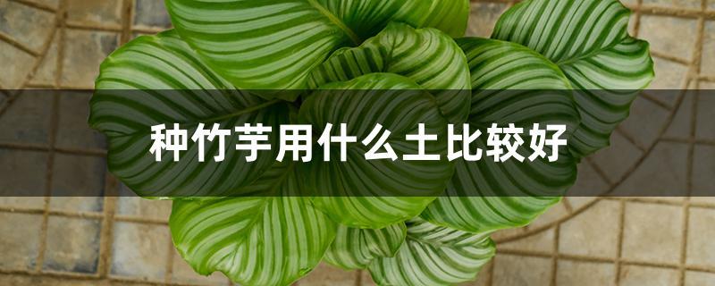 种竹芋用什么土比较好