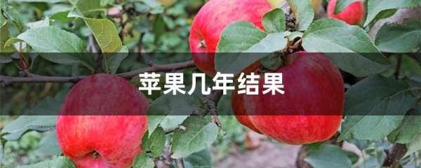 苹果几年结果