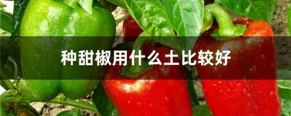 种甜椒用什么土比较好