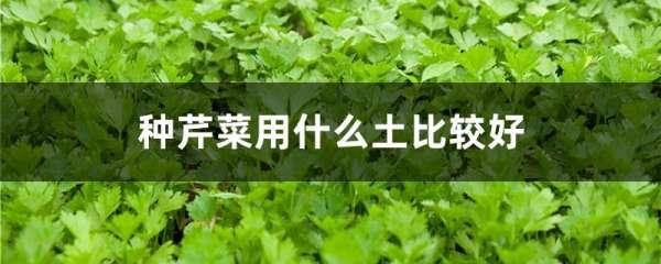 种芹菜用什么土比较好