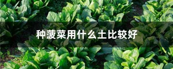 种菠菜用什么土比较好
