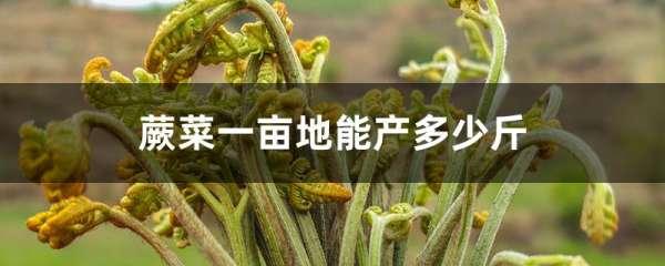 蕨菜一亩地能产多少斤