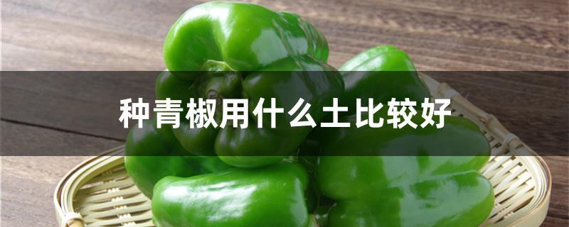 种青椒用什么土比较好