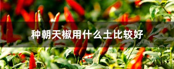 种朝天椒用什么土比较好