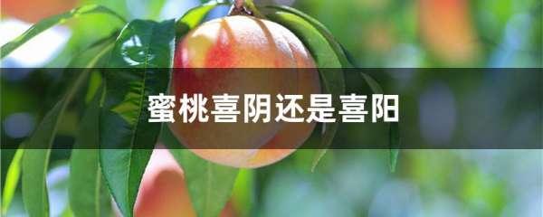 蜜桃喜阴还是喜阳