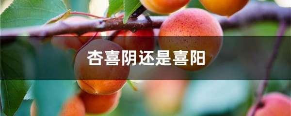 杏喜阴还是喜阳