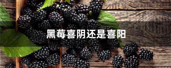 黑莓喜阴还是喜阳