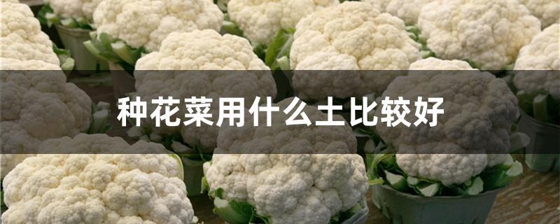 种花菜用什么土比较好