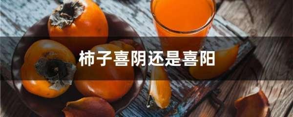 柿子喜阴还是喜阳