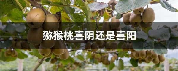 猕猴桃喜阴还是喜阳
