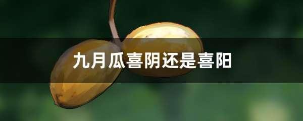 九月瓜喜阴还是喜阳