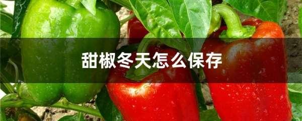 甜椒冬天怎么保存