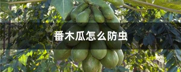 番木瓜怎么防虫